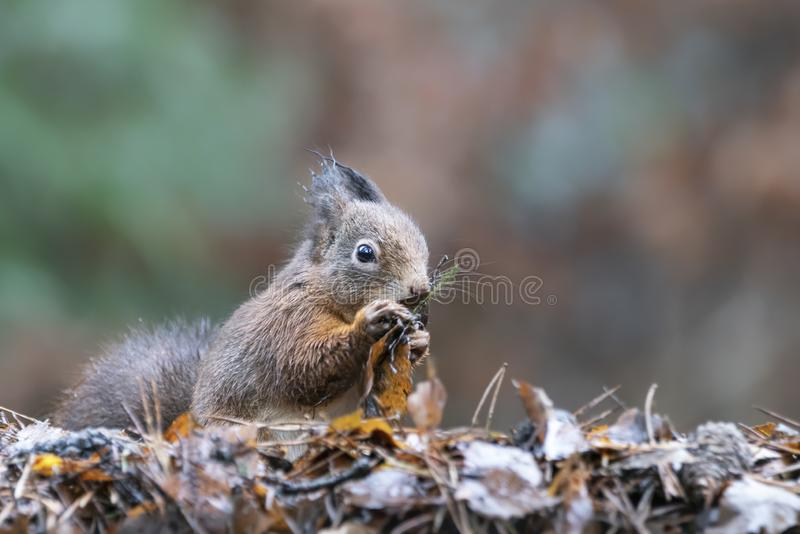 Cute Red Squirrel Sciurus vulgaris playing with autum leaves in an forest covered with colorful leaves. Autumn day in a deep for. Est in the Netherlands. Blurry royalty free stock photography