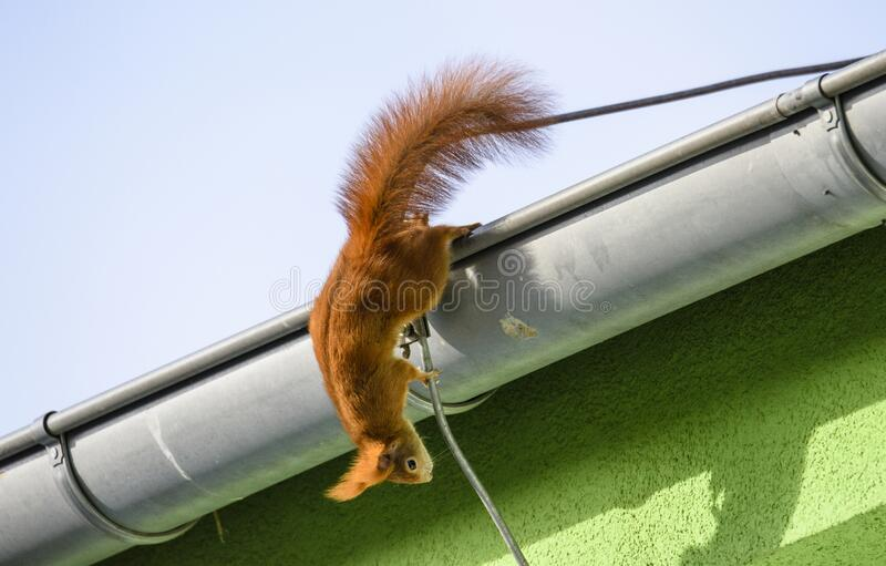 Red squirrel, Sciurus vulgaris, Cute arboreal, omnivorous rodent with long tail, climbing in the tree. Adorable curious orange mam. A cute Red Squirrel Sciurus stock images
