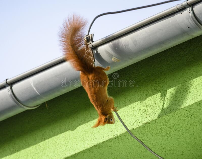 Red squirrel, Sciurus vulgaris, Cute arboreal, omnivorous rodent with long tail, climbing in the tree. Adorable curious orange mam. A cute Red Squirrel Sciurus stock image