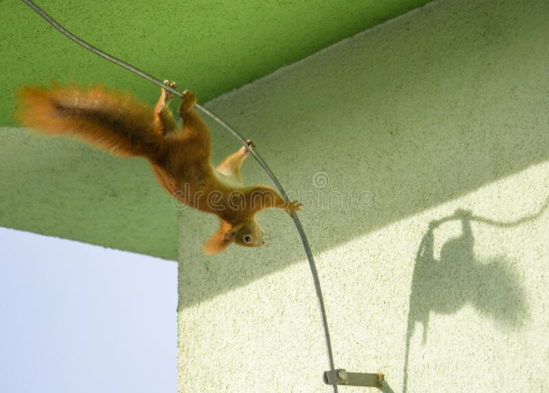 Red squirrel, Sciurus vulgaris, Cute arboreal, omnivorous rodent with long tail, climbing in the tree. Adorable curious orange mam. A cute Red Squirrel Sciurus stock photo