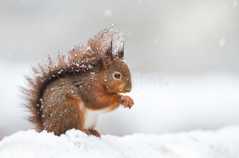 Cute red squirrel sitting in the snow covered with snowflakes stock photos
