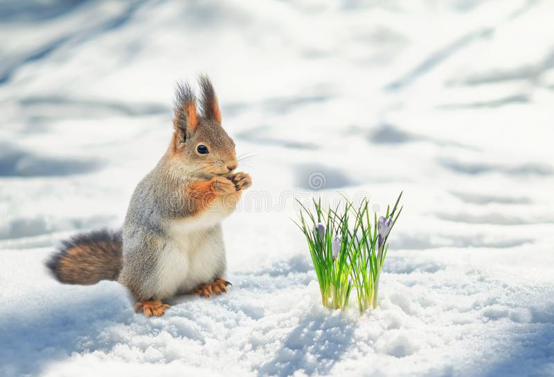 red squirrel stands in the Park in white snow at the first flowers of snowdrops royalty free stock image
