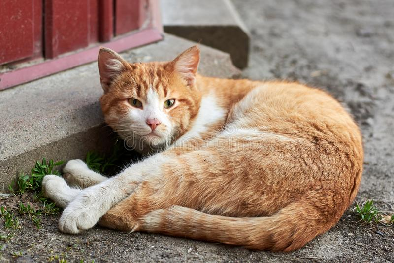 Cute red stray cat lying on the ground, homeless animal theme. Cute red dirty stray cat lying on the ground, homeless animal theme royalty free stock photos