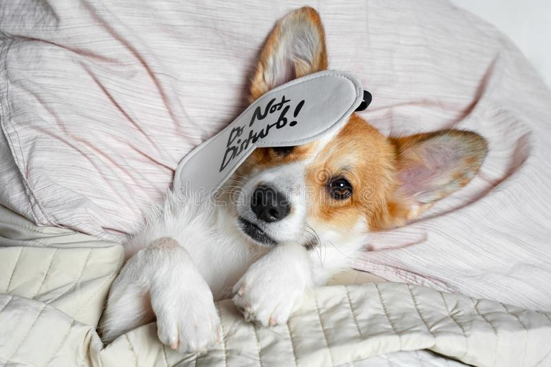 Cute red and white corgi sleeps on the bed on its back. Head on the pillow, covered by blanket, eyes mask. Close up portrait of stock images