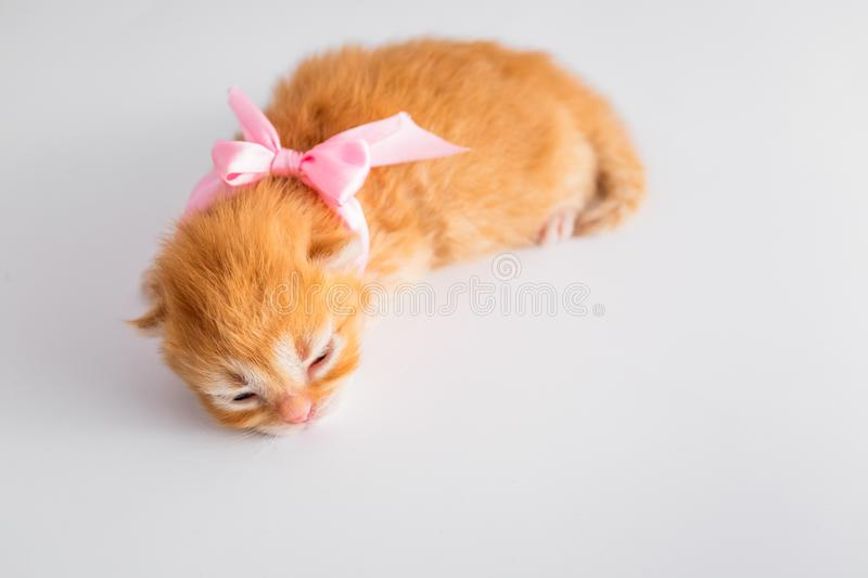 Cute Ginger newborn kitten with pink bow on the hand. One and half weeks Little Cat royalty free stock images