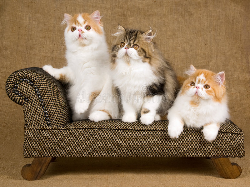 Cute red and white Persian kittens on brown chair royalty free stock images