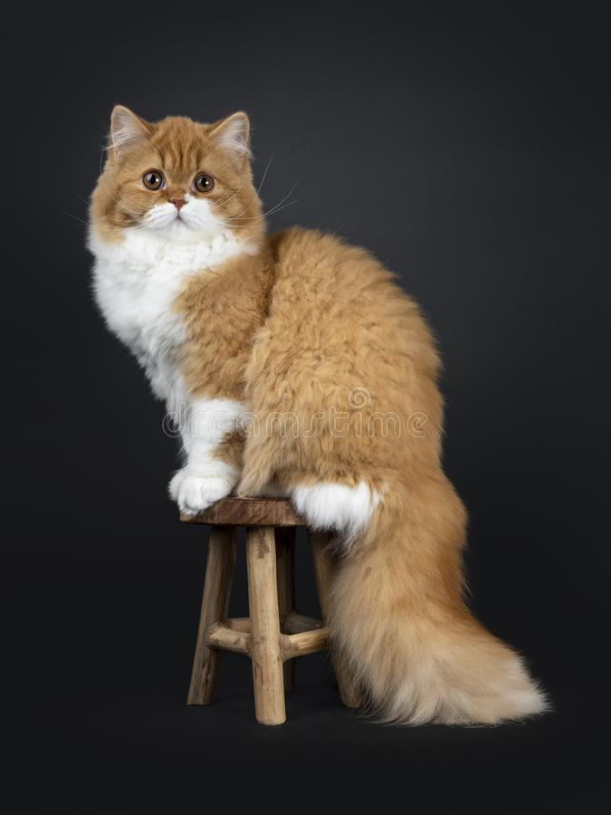 Free Cute Red With White British Longhair Cat Kitten On Black Background Stock Photography - 143348472