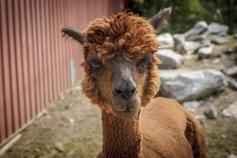 Cute reddish brown alpaca. stock photography