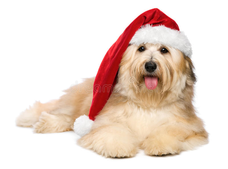 Cute reddish Christmas Havanese puppy dog with a Santa hat stock images