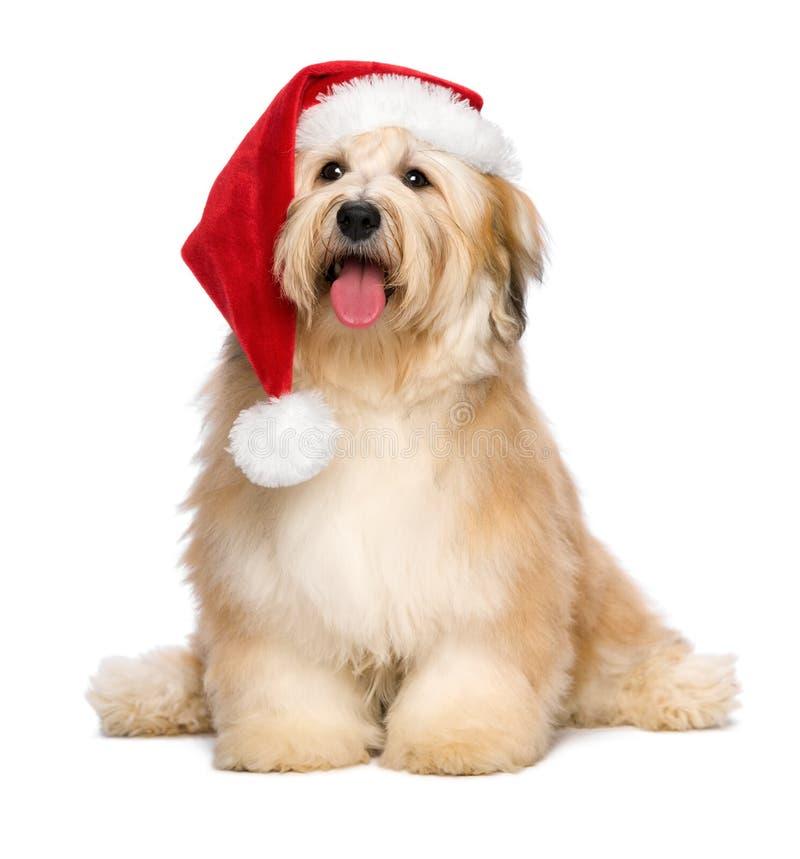 Cute reddish Christmas Havanese puppy dog with a Santa hat royalty free stock photos