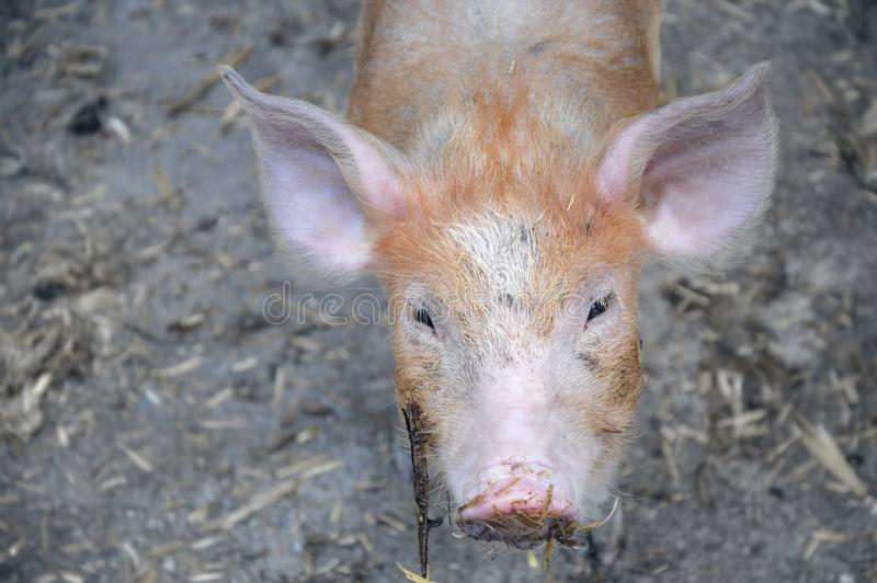 Cute reddish piglet watching at camera stock images