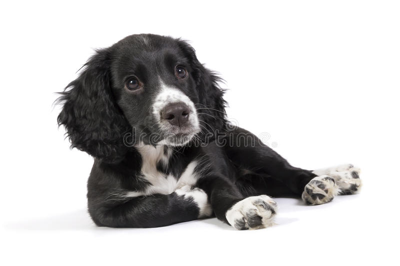 Cute relaxed spaniel puppy stock image