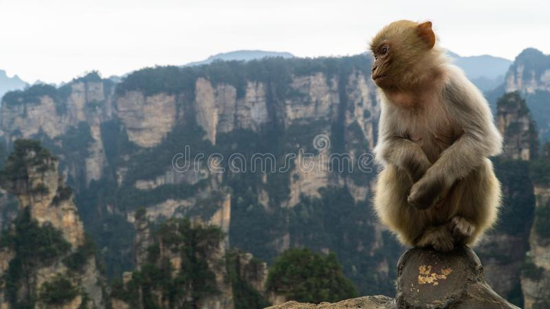 A cute Rhesus macaque Macaca mulatta monkey in Zhangjiajie National Forest Park, view of limestone pillars, China. A cute Rhesus macaque Macaca mulatta monkey in royalty free stock photo
