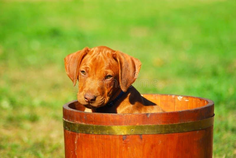 Cute Rhodesian puppy stock image
