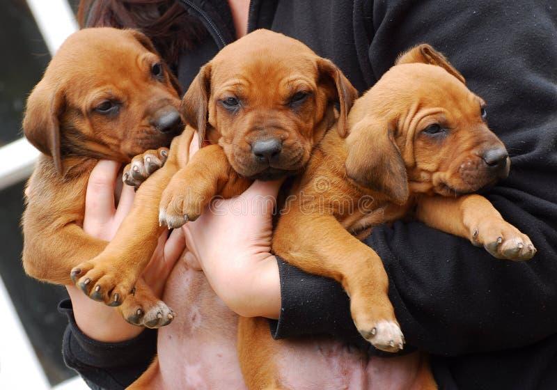 Most Inspiring Rhodesian Ridgeback Brown Adorable Dog - cute-rhodesian-ridgeback-puppies-three-little-purebred-being-held-together-hands-breeder-31585868  Snapshot_27985  .jpg