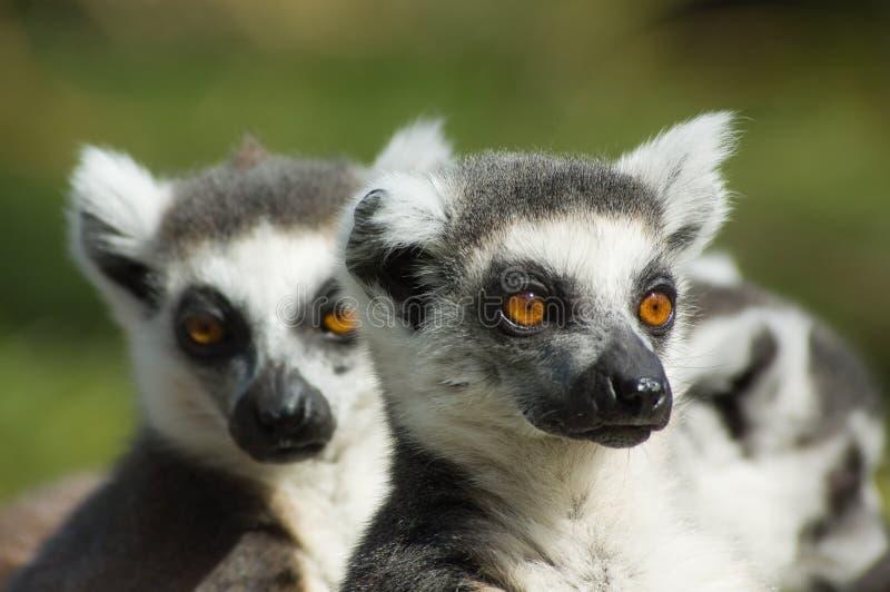 Cute ring-tailed lemur stock photo