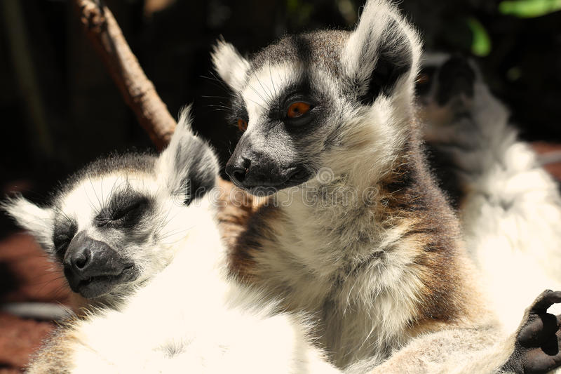Cute Ring-tailed Lemurs Royalty Free Stock Photos