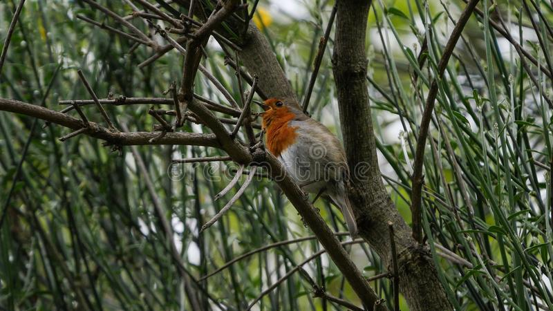 Cute Robin / Erithacus rubecula bird perched in a tree singing stock photo