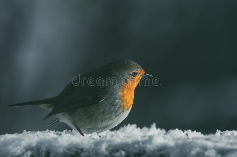 Cute robin on snow in winter Erithacus rubecula royalty free stock photography