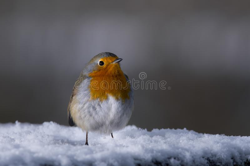 Cute robin on snow in winter Erithacus rubecula royalty free stock photo