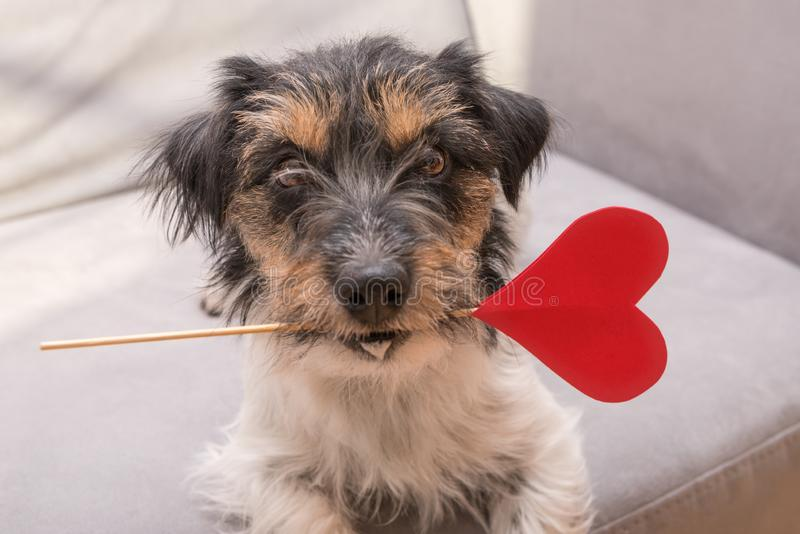 Romantic Jack Russell Terrier dog. Lovable dog is holding a heart to the Valentine`s Day in the mouth. Cute romantic Jack Russell Terrier dog. Lovable dog is royalty free stock images