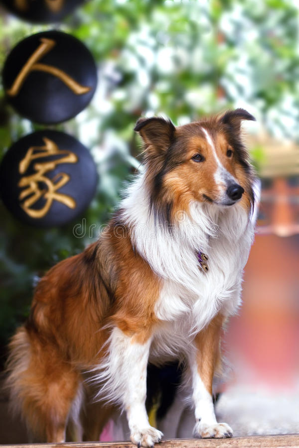 Cute Rough Collie Standing At The Yard Door Stock Images