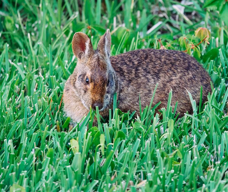 Cute round ear rabbit royalty free stock images