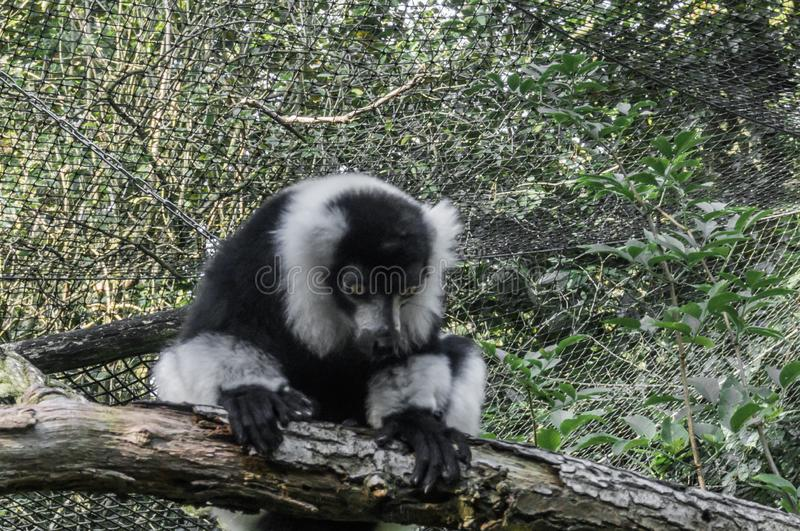 Cute ruffed black and white lemur monkey sitting on a tree branch and looking down adorable primate animal portrait. A Cute ruffed black and white lemur monkey stock photo