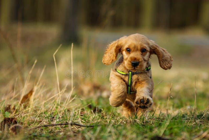 Cute running puppy of golden cocker spaniel stock images