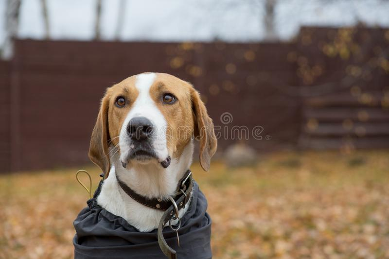 Cute russian hound in the pet coat n the autumn park. Close up. Pet animals. Purebred dog royalty free stock image