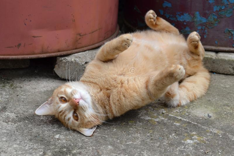 Cute rusty fat cat lying on its back royalty free stock photo