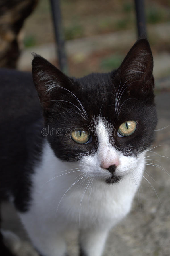 Cute sad black white cat royalty free stock photos