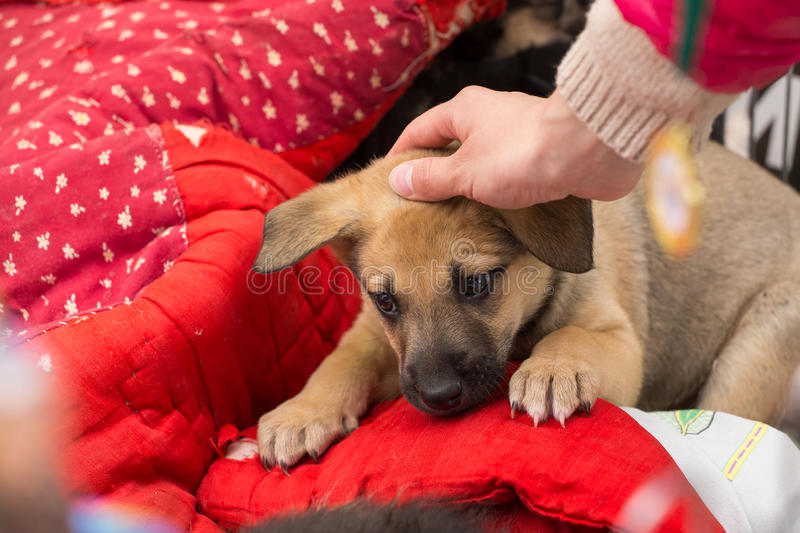 Cute sad brown lie puppy. Hand stroking the puppy stock images