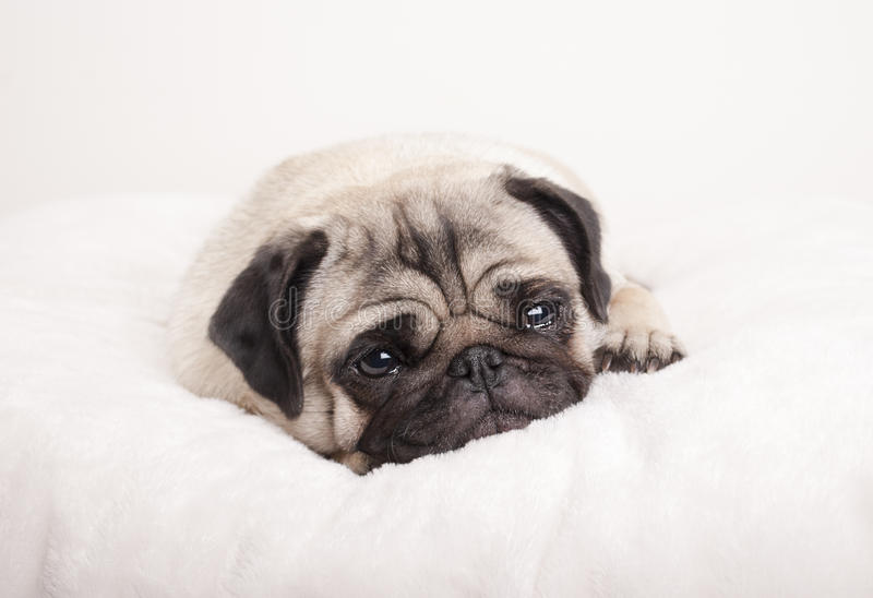 Cute sad little pug puppy dog, lying down crying on fuzzy blanket royalty free stock photo