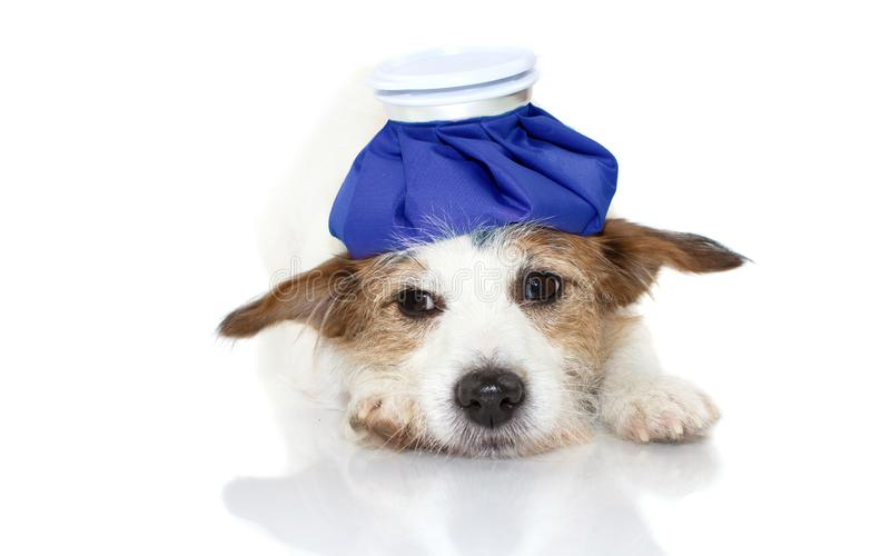 CUTE AND SAD SICK JACK RUSSELL DOG LYING DOWN WITH A BLUE ICE BAG ON HEAD. ISOLATED AGAINST WHITE BACKGROUND royalty free stock photo