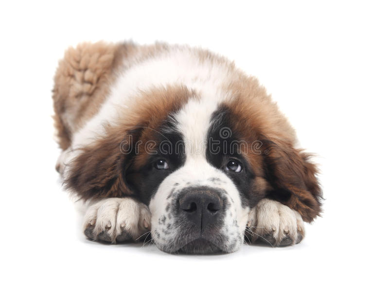 Download Cute Saint Bernard Purebred Puppy Stock Photo - Image: 21514172