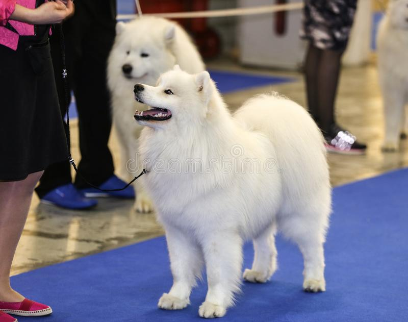 Cute samoyed dog with owner royalty free stock photo