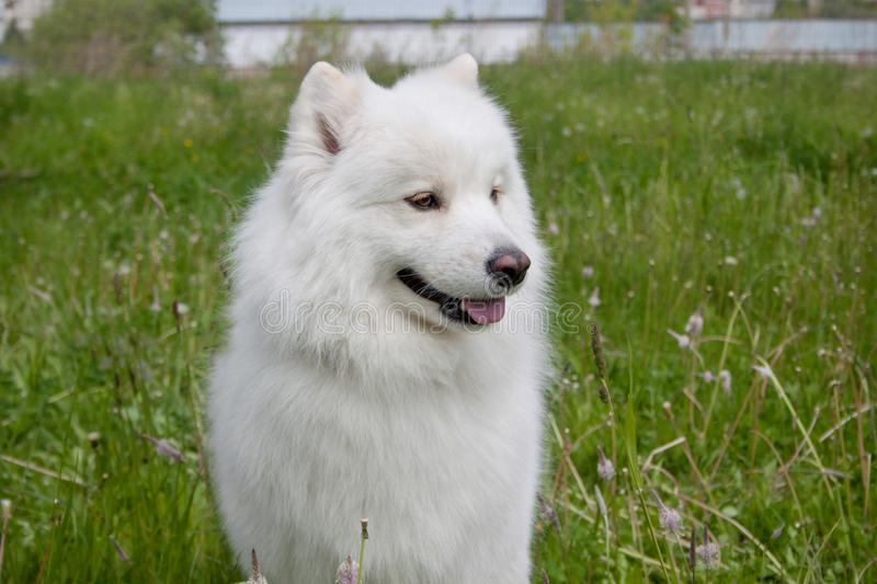 Cute samoyed dog is standing in a green grass. stock photos