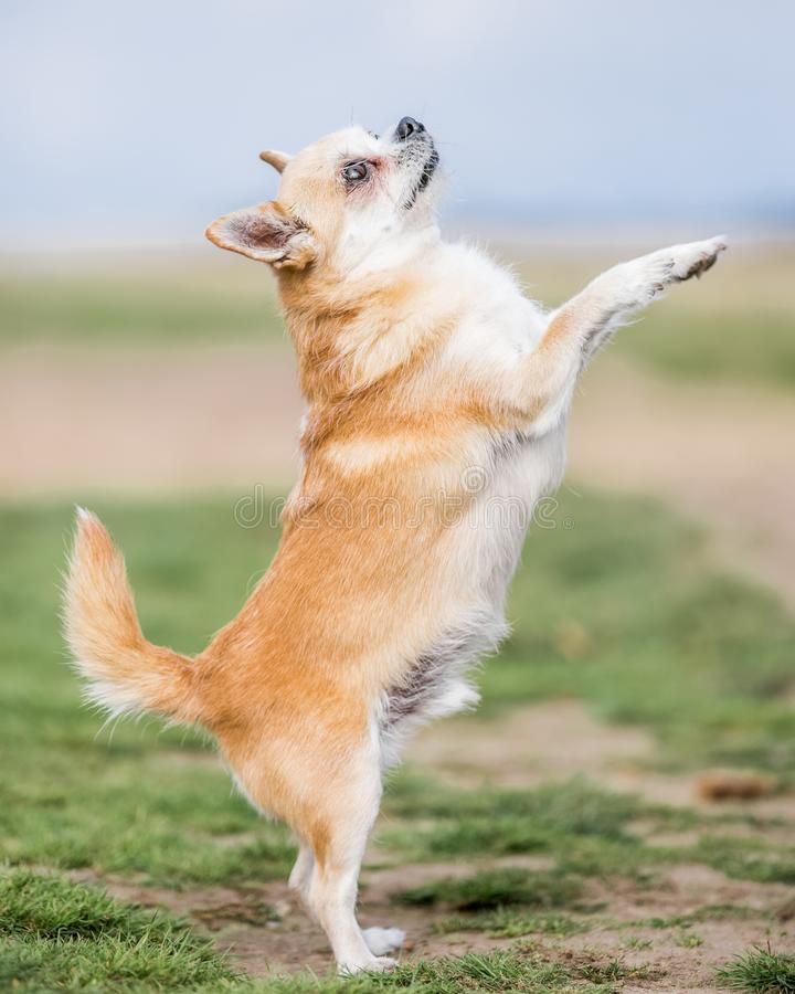 A cute sandy small Chorkie puppy dog begging on its hind legs. A Yorkshire Terrier and Chihuahua cross dog in a countryside field or park. Taken from the side stock image