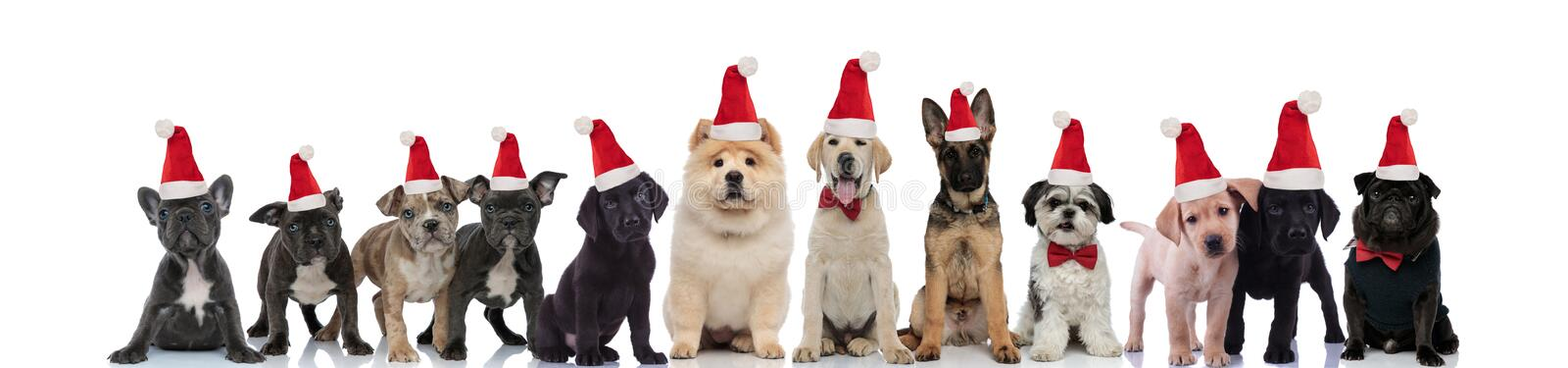 Cute santa claus dogs standing in line together. On white background stock images