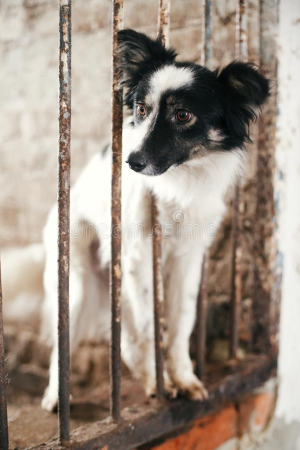 Cute scared dog looking from cage bars at old shelter, waiting for someone to adopt. Little black and white doggy at shelter in stock photo