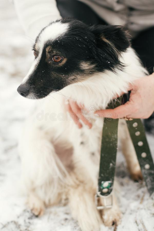 Cute scared dog in person hands in snowy winter park. People hugging little black and white doggy at shelter. Adoption concept. stock photo