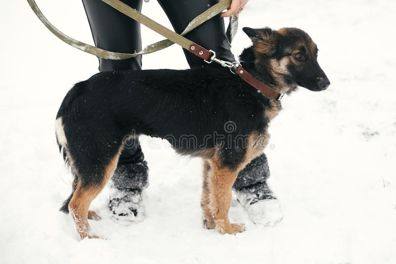 Cute scared puppy with sad eyes walking in snowy winter park. Mixed breed german shepherd dog on a walk with person at shelter. Adoption concept. Stray doggy stock photography