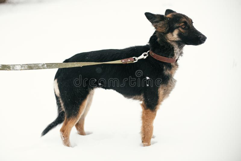 Cute scared puppy with sad eyes walking in snowy winter park. Mixed breed german shepherd dog on a walk with person at shelter. Adoption concept. Stray doggy royalty free stock photo
