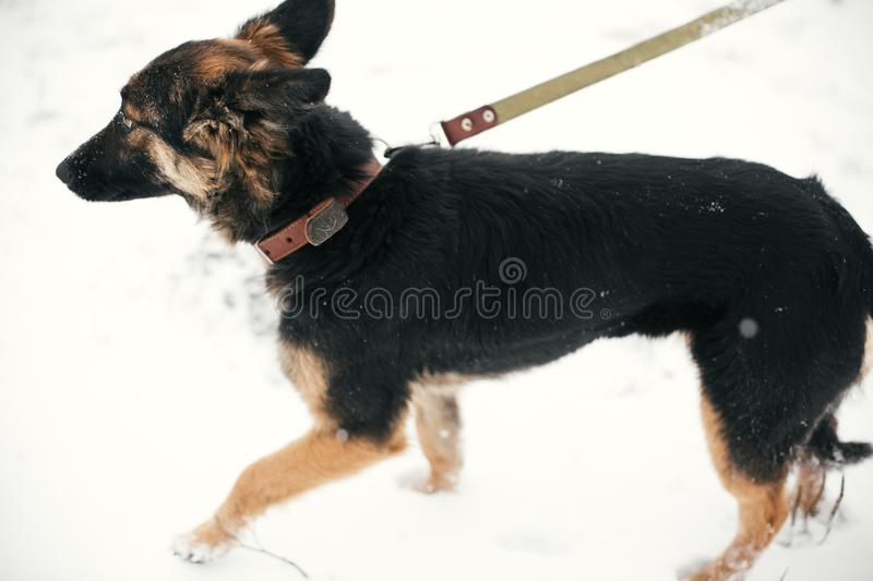 Cute scared puppy with sad eyes walking in snowy winter park. Mixed breed german shepherd dog on a walk with person at shelter. Adoption concept. Stray doggy royalty free stock photos