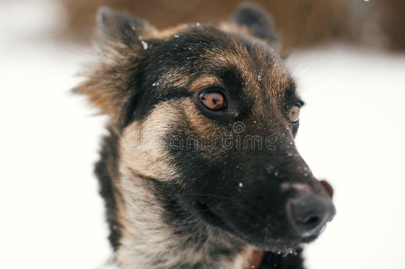 Cute scared puppy with sad eyes walking in snowy winter park. Mixed breed german shepherd dog on a walk with person at shelter. Adoption concept. Stray doggy stock image
