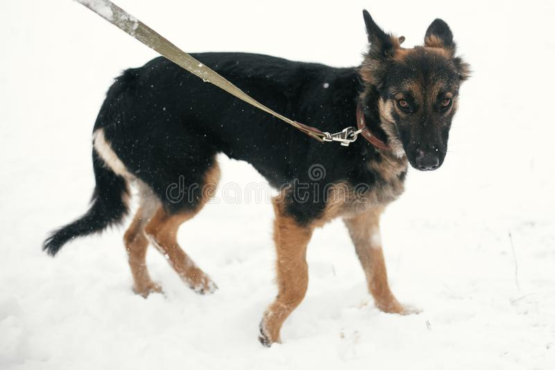 Cute scared puppy with sad eyes walking in snowy winter park. Mixed breed german shepherd dog on a walk with person at shelter. Adoption concept. Stray doggy stock photos