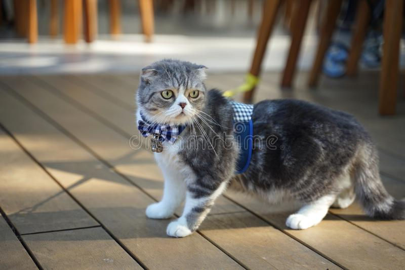 Cute Scottish fold cat breed with unique folded ear wearing blue plaid bow tie. And standing on the floor outdoor stock images