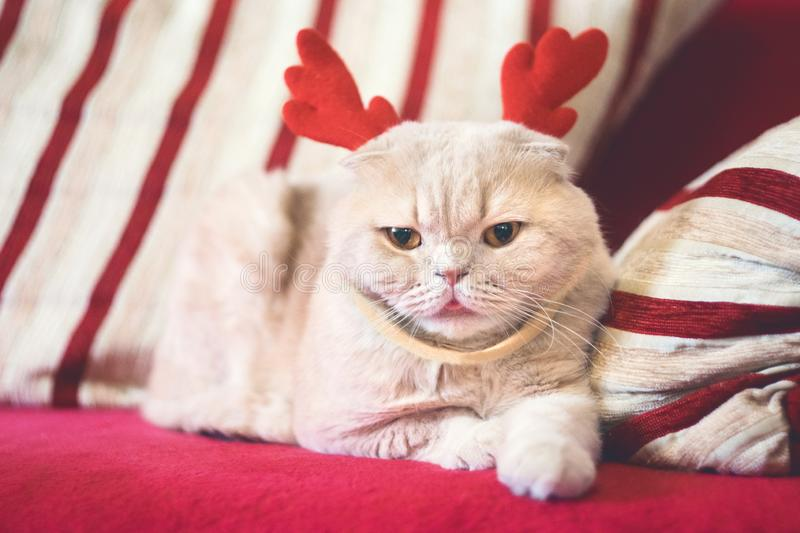 Cute Scottish Fold cat with reindeer Christmas horns. Cream cat dressed as reindeer Rudolph. Christmas animals royalty free stock photo