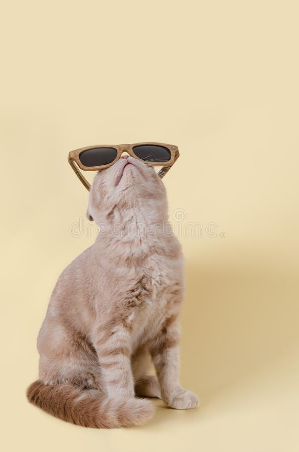 Cute scottish fold cat in sunglasses lying on yellow background and. Copy space for text. Sunglasses sale concept. For banner. Cute scottish fold cat in royalty free stock photos